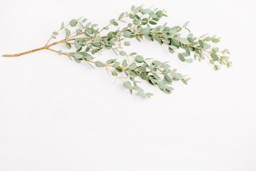 Eucalyptus on white background. Minimal flatlay, top view.