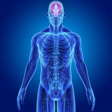 Brain with Anatomy Anterior view