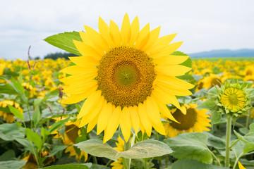 SunFlower Field in Hokkaido