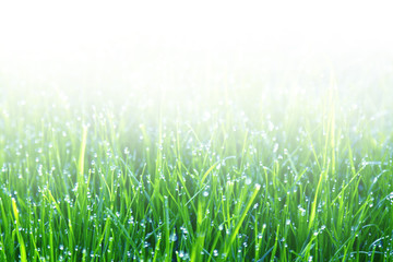 Fresh green grass with dew drops with natural blurry background close-up with space for copy, soft focus