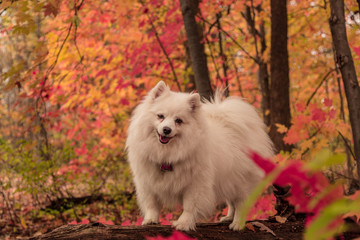 Woods Fall Colors with American Eskimo dog