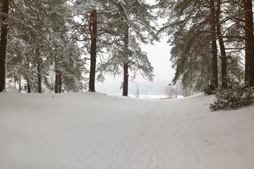 Belarus, Grodno, Molochnoe Lake. Winter pine forest by the lake.
