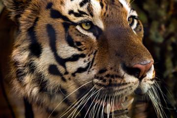 Sticker - Wild Siberian tiger on nature
