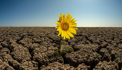 sunflower on droughty desert