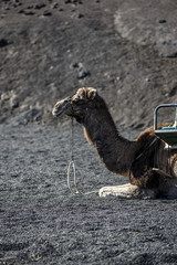 Camels carrying tourists, Lanzarote, Canary Islands.