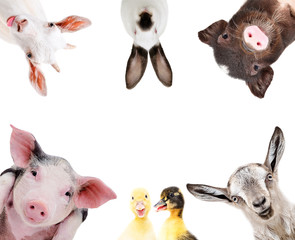 Funny portrait of a group of farm animals, isolated on a white background