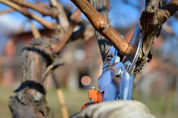 man pruning vines in winter