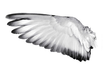 Wing feathers bird on white background