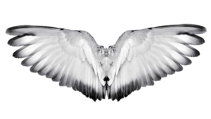 Wing feathers couple bird on white background