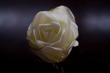 Whte Rose Photo, Beautifil Rose, White Flower, Chirstmas Flower, Macro Photo, Angle 1