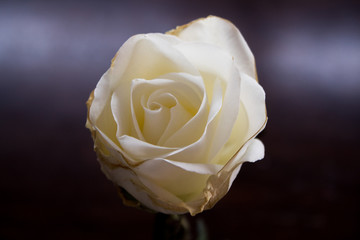 Whte Rose Photo, Beautifil Rose, White Flower, Chirstmas Flower, Macro Photo, Angle 2
