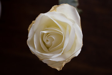 Whte Rose Photo, Beautifil Rose, White Flower, Chirstmas Flower, Macro Photo, Angle 3