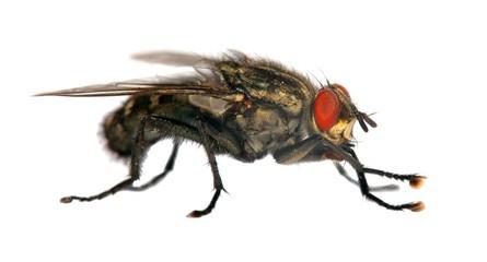 fly isolatet on the white background