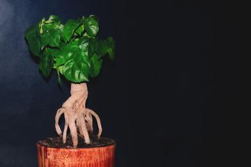Bonsai tree on a black background.