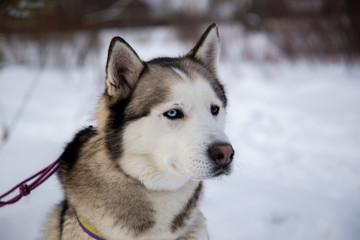 Close up beautiful dog huskie