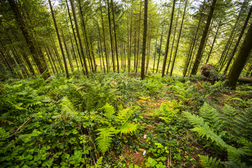 Forest pines and bracken on a forestry plantation