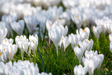 Spring white crocus flowers on green grass