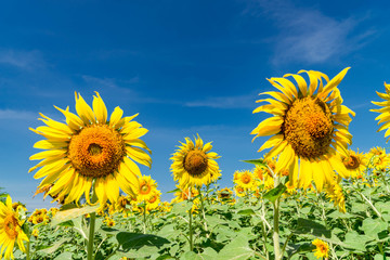 Sunflower with a sky background. with copy space for your text message or use for background.