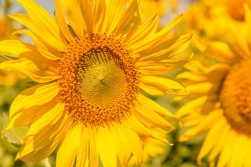 Colorful of flowers, Close up shot of Sun flower seeds background.