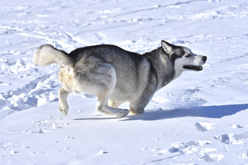 dogs of the Siberian Husky breed like to run through the snow