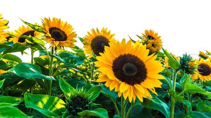 sonnenblumenfeld vor weissem hintergrund