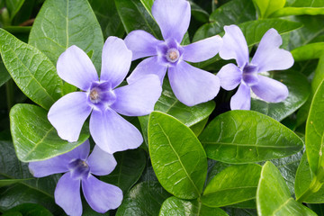 Vinca minor blooming ground cover with lavender blue flowers and green leaves Apocynaceae