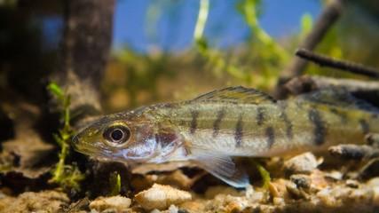 Zander or pike-perch (Sander lucioperca) juvenile freshwater fis