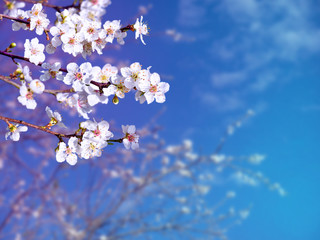 Plum tree spring flowers on the blue sky background