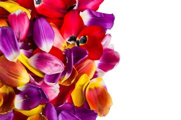 Background of  petals tulips