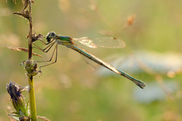 Dragonfly Southern Arrow (Latin Coenagrion Mercuriale). Shallow Depth Of Field.