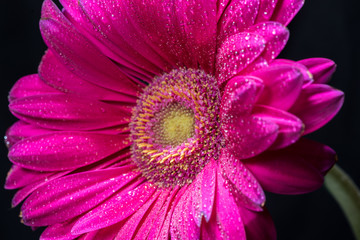 Pink gerbera flower with water drops on black close-up background