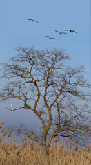 Early spring. Two pairs of white swans fly south over the acacia, which stands without leaves.