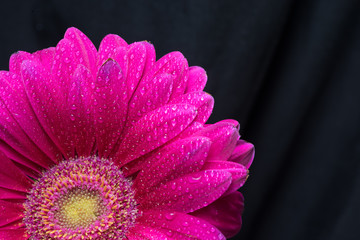 Half of the red gerbera flower with water drops close up on black background
