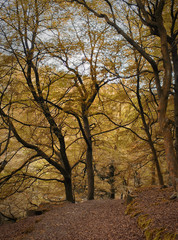 woodland clearing in autumn beech forest with tall old trees and fallen leaves along a stone lined path with steep valley landscape and sky