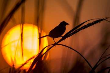 A Seaside Sparrow silhoutted against the setting sun and orange sky in the marsh.