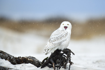 A Snowy Owl perched on dark driftwood in a light falling snow with its beak wide open during a yawn on a beach.