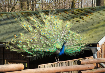 colorful peacock male with open tail sitting on the wooden fence
