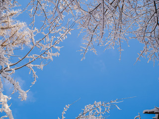 Picture from bottom of tops of winter trees and blue sky
