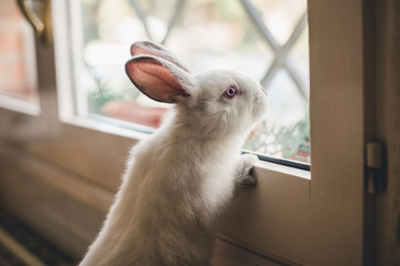 White little bunny looking at window