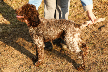 Portrait of Lagotto Romagnolo truffle dog