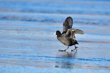 Blässhuhn rennt über das Eis.