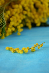 Yellow mimosa flowers on blue background