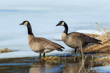 Canadian geese couple in pond.
