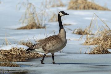Goose walking on partially frozen pond.