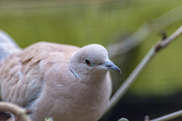 A Laughing Dove looks straight into the camera