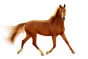 Papiers peints Chevaux A red horse in contour light is trotting freely.