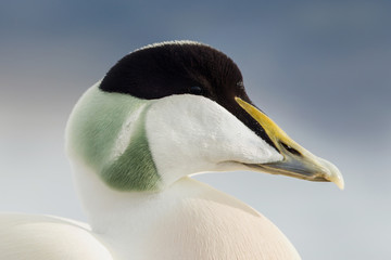 Close up of a male common eider