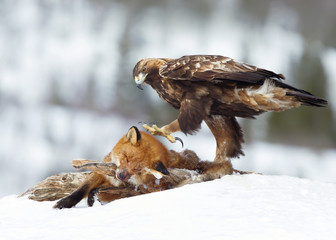 Golden Eagle feeding on a Red Fox in winter Wall mural
