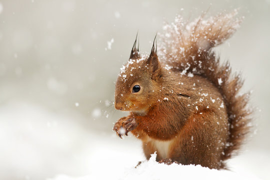 Cute Red squirrel in the falling snow