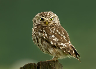 Close-up of a Little owl perching on a log
